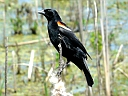 More Red-winged Blackbirds