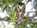 More Saw-whet Owls