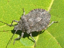 More Four-humped Stink Bugs