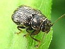 More Scriptured Leaf Beetles
