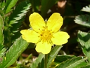 More Silverweed