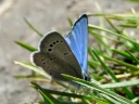 More Silvery Blue Butterflies
