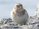 More Snow Bunting