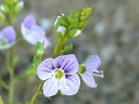 More American Speedwell
