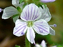 More Common Speedwell
