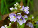 More Water Speedwell