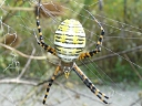 Orb Weaver Spiders