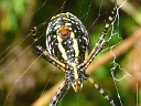 More Banded Argiope Spiders