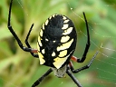 More Black and Yellow Argiope Spiders