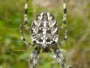 More Garden Cross Spiders