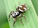 More Zebra Jumping Spiders