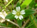 More Chickweed