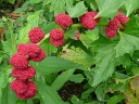 Amaranth Family