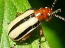 More Three-lined Potato Beetles
