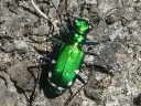 More Six-spotted Tiger Beetles