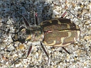 More Common Shore Tiger Beetles