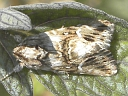 More Toadflax Brocade Moths