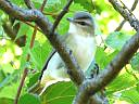 More Red-eyed Vireos