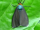 More Virginia Ctenucha Moths