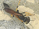 More Black-and-Yellow Mud Dauber Wasps