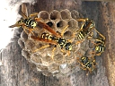 More European Paper Wasps