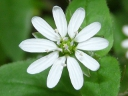 More Water Chickweed