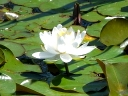 More White Water-lily
