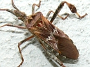 Leaf-footed Bugs