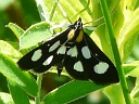 More White-spotted Sable Moths