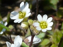 More Whitlow Grass