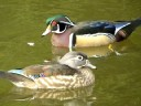 More Wood Ducks